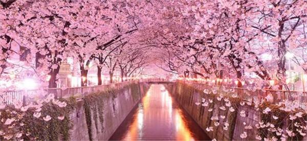 Comment s'appelle la fleur de cerisier