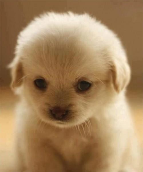 Babou, le plus mignon des Golden